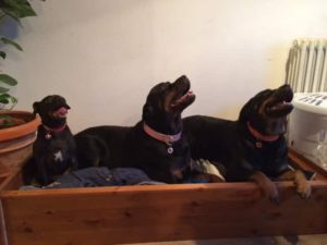 Bandit, Rotty and Izzy